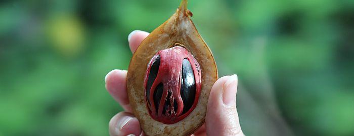 Grenada Muskatnuss Nutmeg
