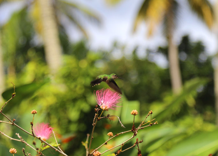St. Lucia_Kolibri im Botanischen Garten