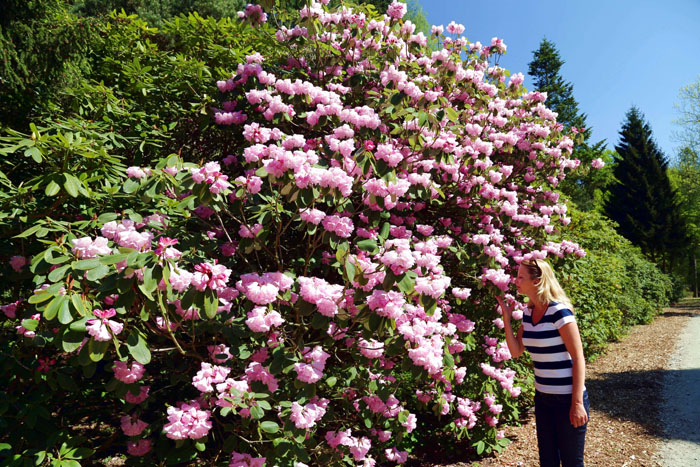 Meterhohe Rhododendren Kurzurlaub Ammerland