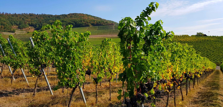 Iphofen Weinreben Franken Wein Weinland