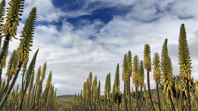 Kanaren AIDA AIDAprima Fuerteventura Aloe Vera