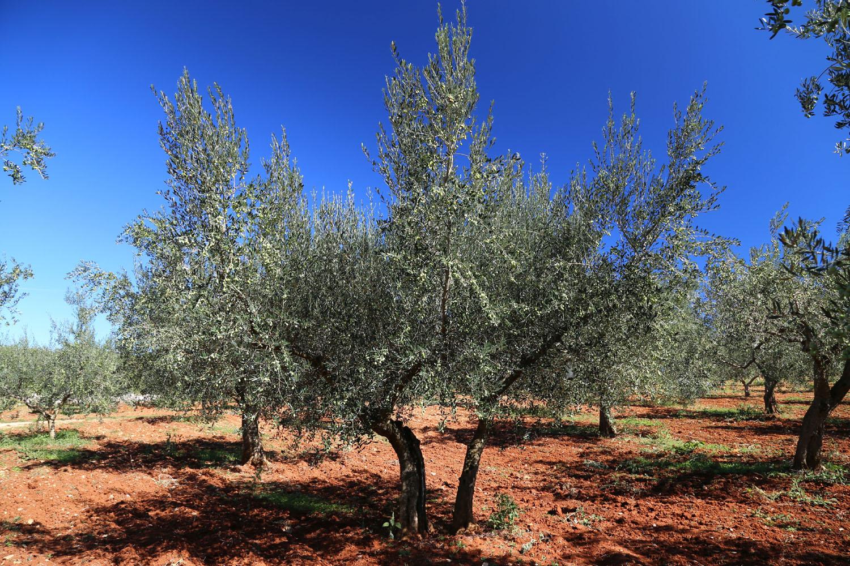 Istrien Olivenbäume Olivenöl